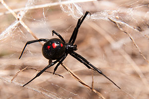 A female black widow spider.