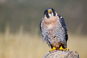A perched peregrine falcon.