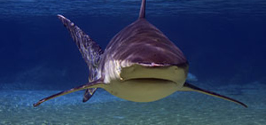 Bull sharks can live in freshwater.