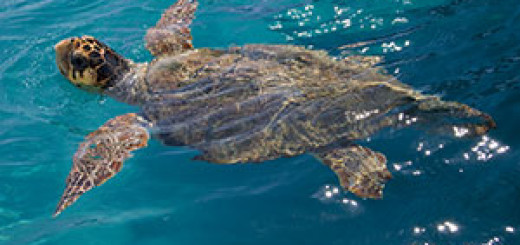 An Atlantic loggerhead swimming.